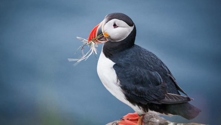 Latrabjarg – didžiausia paukščių uola